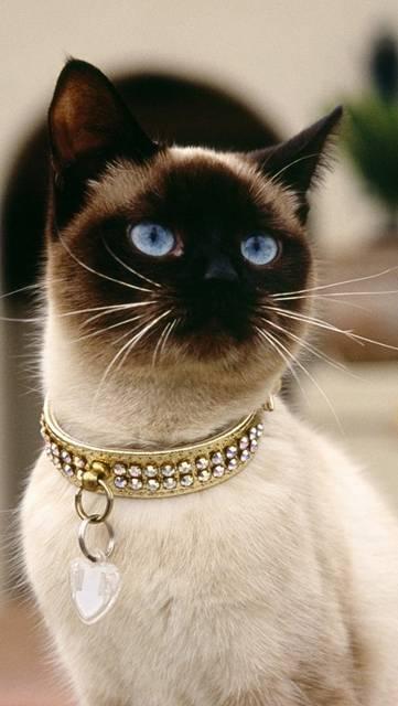 お洒落な首輪をつけたシャム猫