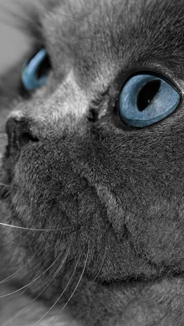 綺麗な青い瞳の猫の壁紙画像