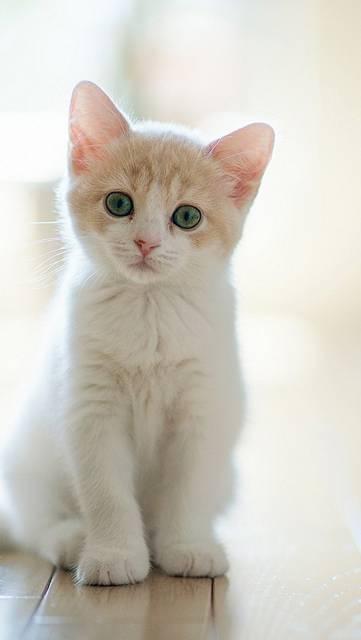 行儀よく座る白い子猫