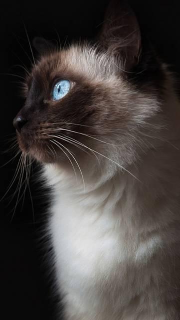 じっと見つめるシャム猫の画像