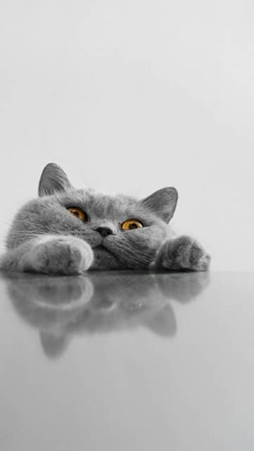 テーブルに顔をのせたブサ可愛い猫