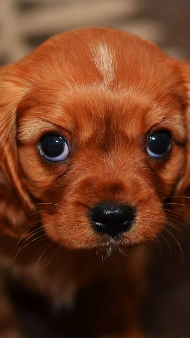 上目遣いの仔犬の写真