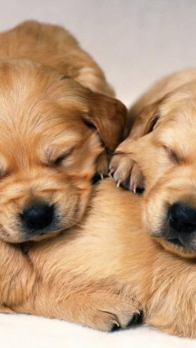すやすや眠る仔犬達の壁紙画像