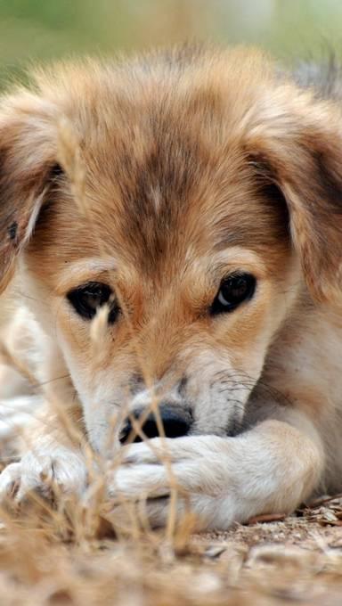 枯れ草と子犬のアップの壁紙