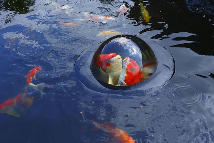 ドームの中に餌を置いておけば、そこに鯉が集まってきます。